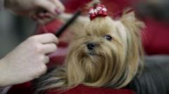 Grooming yorkshire terrier Stock Footage