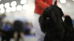 Black russian terrier Stock Footage