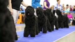 Black russian terriers Stock Footage