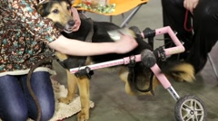 Disable dog in a wheelchair Stock Footage