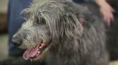 Irish Wolfhound dog Stock Footage