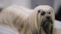 Beautiful shih tzu dog Stock Footage