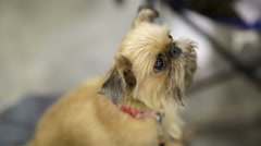 Brussels Griffon dog Stock Footage