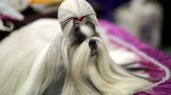Shih tzu dog Stock Footage