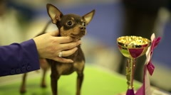 Adorable chihuahua dog with award Stock Footage