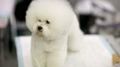Bichon frise dog Stock Footage