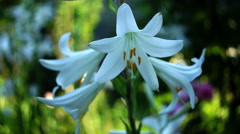 Stock Video Footage of Lilium Regale (Regal Lily, Trumpet Lilies or King's Lily) In Garden