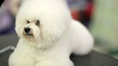 Bichon frise dog Stock Footage