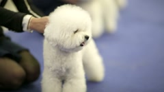 Bichon frise dogs during dog show. Stock Footage