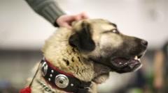 Turkish Shepherd dog Stock Footage