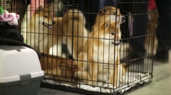 Shiba inu dogs in a cage Stock Footage