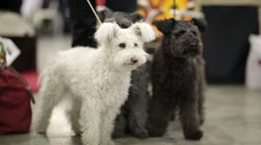 Pumi dogs Stock Footage