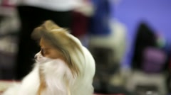 Papillion dog Stock Footage