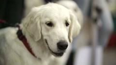Golden retriever dog Stock Footage