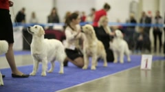 Golden Retrievers in a row during international dog show Stock Footage