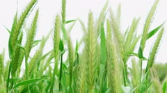 Heads of springtime cereal sprouts Stock Footage