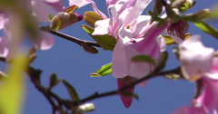 4K, Magnolia pink and white Spring blossom on the trees and flowers Stock Footage
