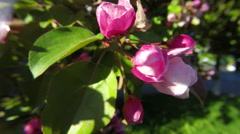 Apple tree blossoms in the sunshine garden. Close up. Stock Footage