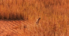 Burmese male peasant cuts dry grass in farmland of rural Myanmar at sunset  Stock Footage
