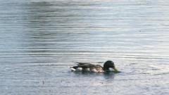 Male mallard wild duck feeding in pond / lake - 4k Stock Footage
