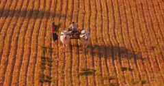 Burmese peasants from local village on rural farmland collecting cut grass Stock Footage