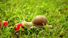 Snail (Gastropod Molluscs), Cherries, Grass. Fantastic Fairy Tale Stock Footage