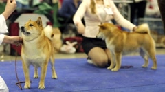 Japanese shiba Inu dogs Stock Footage