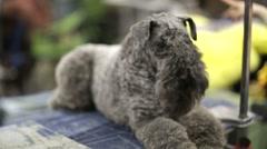 Beautiful Kerry Blue Terrier Stock Footage