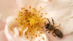 Stock Video Footage of Bee  Landing In Pink Rose And After a Short Pollination, Flying