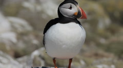 Puffin on the Farne Islands, Northumberland Stock Footage