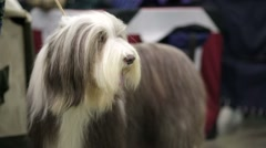 Bearded collie dog. Stock Footage