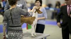 Cute basenji dog during international dog show Stock Footage