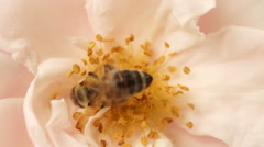 Bee In Pink Rose Stock Footage