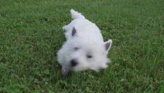 White terrier in green grass Stock Footage