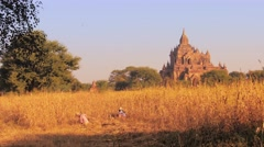 Female farmers cut dry grass on agricultural field near ancient temples of Bagan Stock Footage