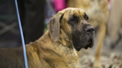Great Dane Dog Breed. Stock Footage