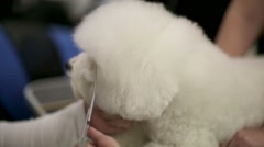Bichon Frise dog fur cutting during dog show. Stock Footage