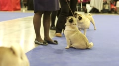 Pug dogs during dog show Stock Footage