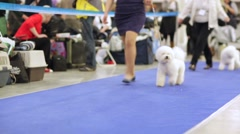 Bichon Frise dogs in a row during international dog show Stock Footage