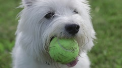 Cute dog holding tennis ball Stock Footage