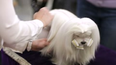 Grooming maltese dog. Stock Footage