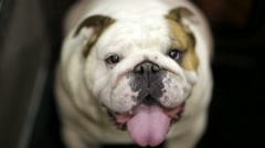English bulldog Stock Footage