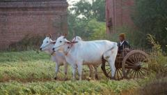 Two big white bulls pulling cart with unidentified Burmese peasant on rural road Stock Footage