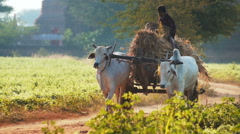 Burmese male peasant sitting on bullock cart and riding on country road Stock Footage