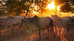 Group of livestock animals in rural Burma at sunset with sun shining - stock footage