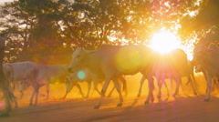 Sun light at sunset and animals walk on country road in Bagan Burma - stock footage
