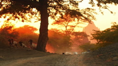 Herd of goats on country road of rural Burma. Ancient Buddhist site - Old Bagan Stock Footage