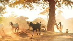 Idyllic scene of goats returning home at sunset in rural countryside of Myanmar Stock Footage