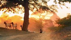 Herder with domestic animals - cows and goats on countryside road in Bagan site Stock Footage