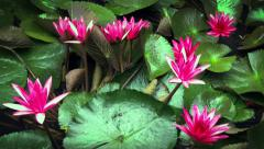 Timelapse of lilies opening to full bloom in natural pond of tropical garden Stock Footage